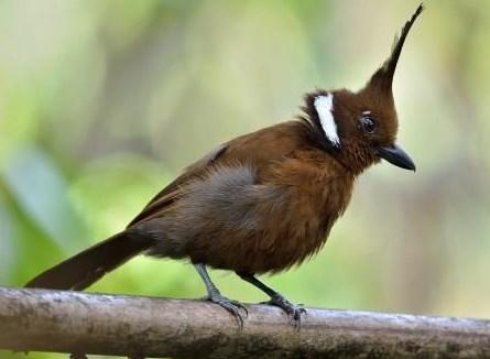 Karaktersitik-Burung-Cililin