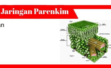 Jaringan-Parenkim-Ciri-Tipe-Fungsi-Bentuk-Struktur